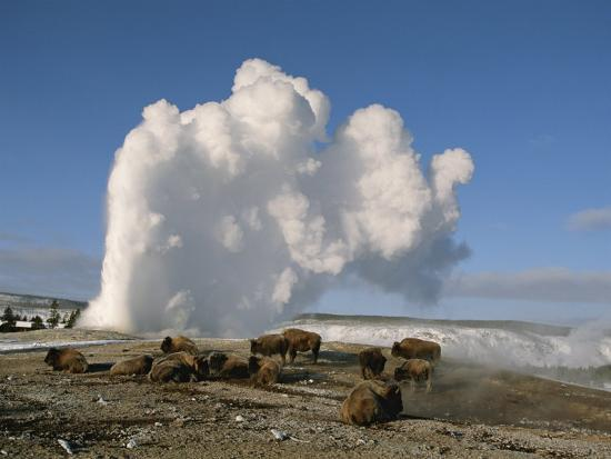 A Group of American Bison Rest Near the Old Faithful Geyser-Tom Murphy-Photographic Print