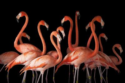 A Group of American Flamingos, Phoenicopterus Ruber-Joel Sartore-Photographic Print