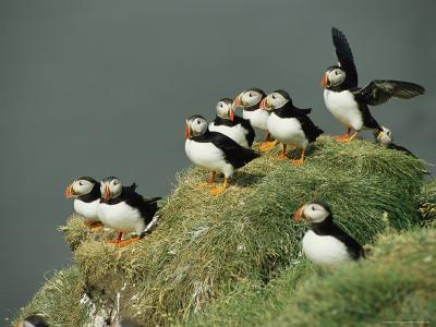 A Group of Atlantic Puffins Perch on a Grass-Covered Cliff-Sisse Brimberg-Photographic Print