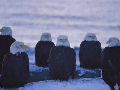 A Group of Bald Eagles Rest on a Breakwater in Homer-Norbert Rosing-Photographic Print