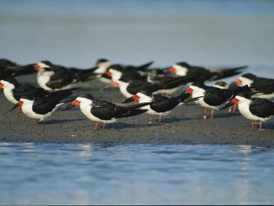 A Group of Black Skimmers Stand on a Sandbar-Joel Sartore-Photographic Print
