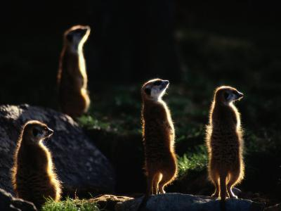 A Group of Captive Meerkats Standing in the Afternoon Sun-Tim Laman-Photographic Print