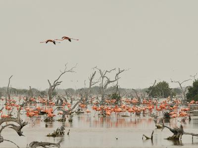 A Group of Caribbean Flamingos Among Dead Mangrove Trees-Klaus Nigge-Photographic Print