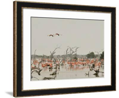 A Group of Caribbean Flamingos Among Dead Mangrove Trees-Klaus Nigge-Framed Photographic Print