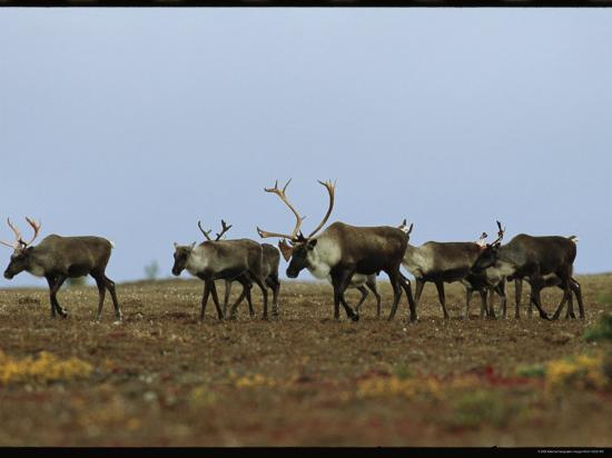 A Group of Caribou in a Tundra Landscape-Norbert Rosing-Photographic Print