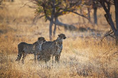 A Group of Cheetahs, Acinonyx Jubatus, on the Lookout for a Nearby Leopard at Sunset-Alex Saberi-Photographic Print