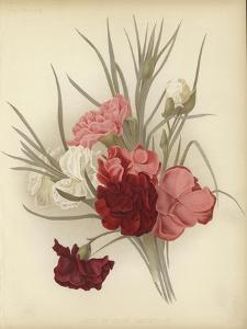 A Group of Clove Carnations
