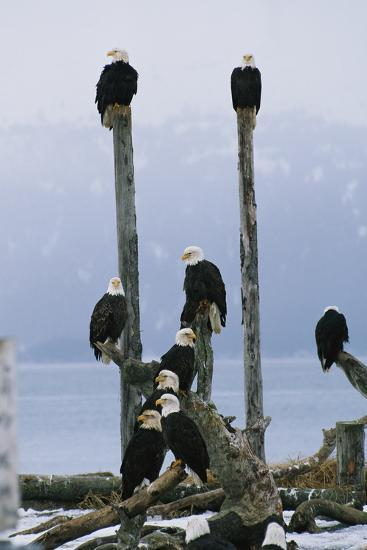 A Group of Eagles Perch on Wooden Posts-Klaus Nigge-Photographic Print