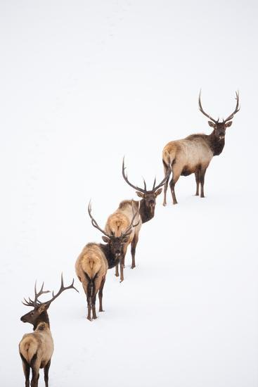 A Group of Elk Cross an Ice and Snow-Covered Lake in a Totally White Landscape-Robbie George-Photographic Print