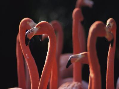 A Group of Greater Flamingos in Africa-Tim Laman-Photographic Print