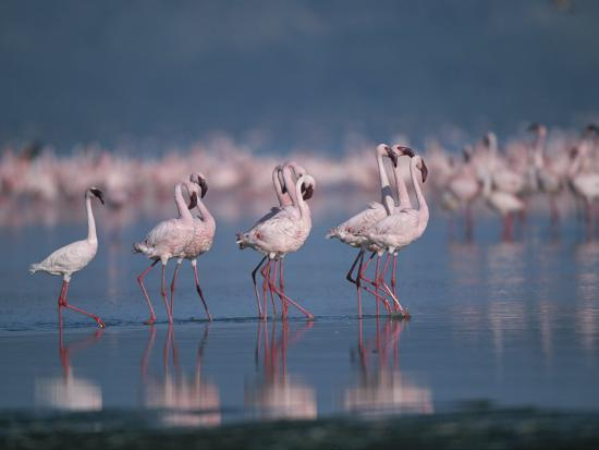 A Group of Greater Flamingos Wade in the Shallow Water of Lake Nakuru-Roy Toft-Photographic Print