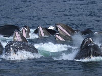A Group of Humpback Whales Bubble Net Hunting and Feeding Together-Ralph Lee Hopkins-Photographic Print