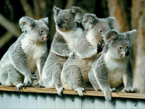 A Group of Koalas Gather Atop a Fence--Photographic Print