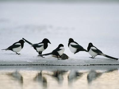 A Group of Magpies Gathered Around a Fish Carcass-Klaus Nigge-Photographic Print