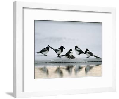 A Group of Magpies Gathered Around a Fish Carcass-Klaus Nigge-Framed Photographic Print