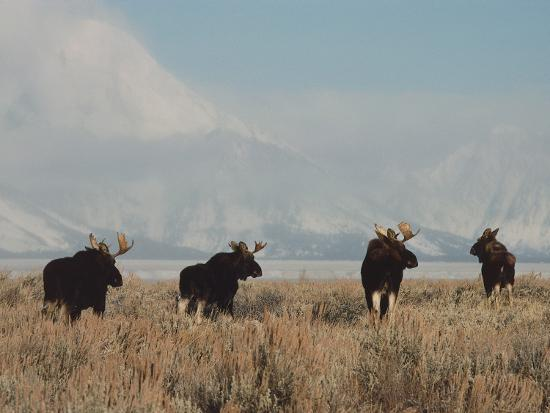 A Group of Moose Walk in a Field-Jeff Foott-Photographic Print