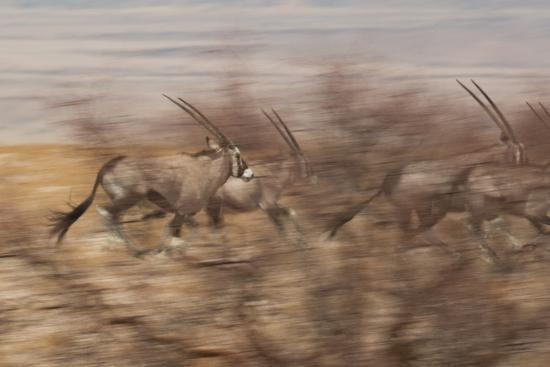A Group of Oryx on the Run in Namib-Naukluft National Park-Alex Saberi-Photographic Print