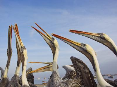A Group of Peruvian Pelicans Fight over a Piece of Fish-Mike Theiss-Photographic Print
