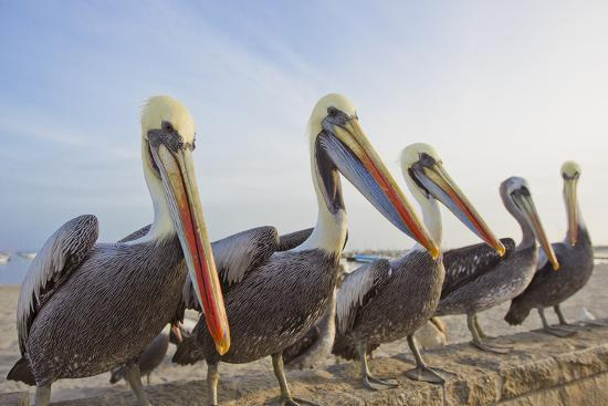 A Group of Peruvian Pelicans, Pelecanus Thagus, Sitting on a Seawall-Mike Theiss-Photographic Print
