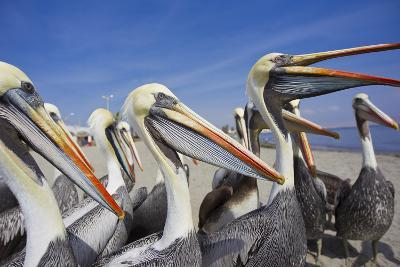 A Group of Peruvian Pelicans Waiting to Be Fed on a Beach-Mike Theiss-Photographic Print