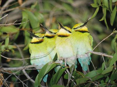 https://imgc.artprintimages.com/img/print/a-group-of-rainbow-bee-eaters-sleeping-huddled-together_u-l-p4olpx0.jpg?p=0