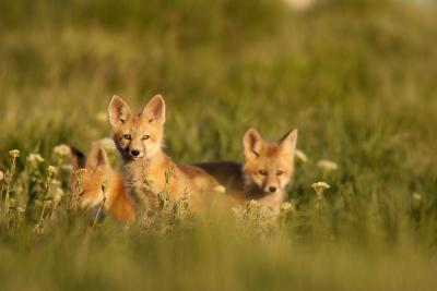 A Group Of Red Fox Kits Playing At Sunset-Jay Goodrich-Photographic Print