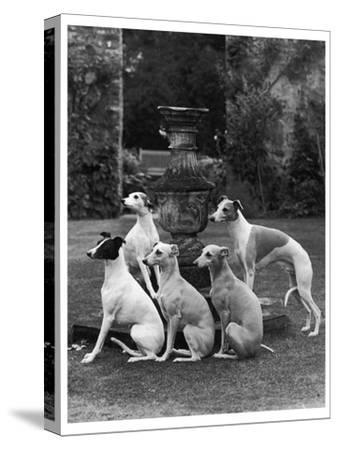 A Group of Seagift Whippets around a Fountain. Owned by Whitwell