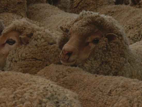 A Group of Sheep Wait to Be Shorn-Nicole Duplaix-Photographic Print