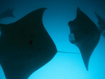 A Group of Silhouetted Manta Rays Swimming Gracefully-Heather Perry-Photographic Print