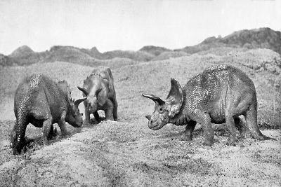 A Group of Triceratops, 20th Century--Giclee Print