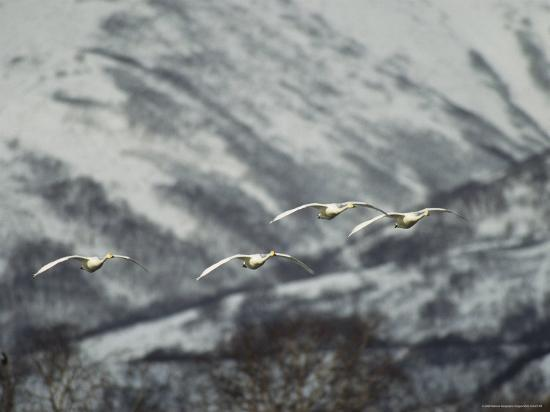 A Group of Whooper Swans in Flight-Klaus Nigge-Photographic Print