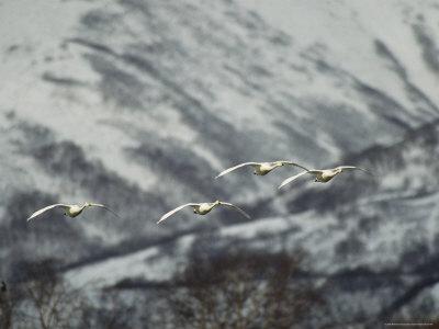 https://imgc.artprintimages.com/img/print/a-group-of-whooper-swans-in-flight_u-l-p4s43g0.jpg?p=0