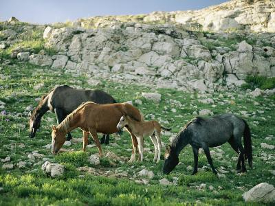A Group of Wild Horses Graze in the Pryor Mountains-Raymond Gehman-Photographic Print
