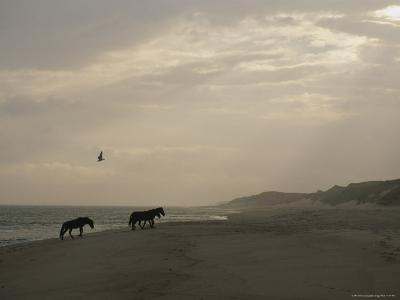 A Group of Wild Horses in the Dunes of Sable Island--Photographic Print
