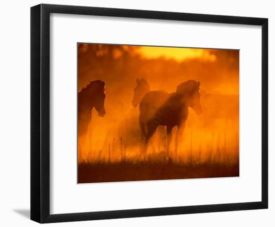 A Group of Zebras Stand in a Dust Cloud Colored Gold by the Low Sunlight-Beverly Joubert-Framed Photographic Print