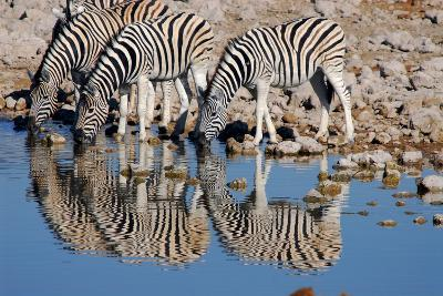 A Group of Zebras Take a Drink at the Waterhole, Etosha National Park, Namibia-Anne Keiser-Photographic Print