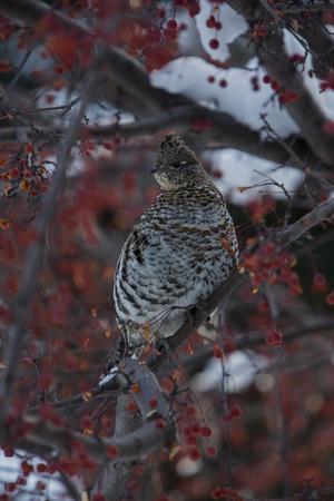 https://imgc.artprintimages.com/img/print/a-grouse-perches-on-a-tree-branch-in-grand-teton-national-park_u-l-q13hqt00.jpg?p=0