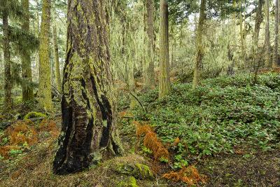 A Grove of Trees in the San Juan Islands-Michael Melford-Photographic Print