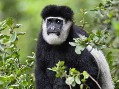 A Guereza Colobus Monkey in the Aberdare Mountains of Central Kenya-Nigel Pavitt-Photographic Print