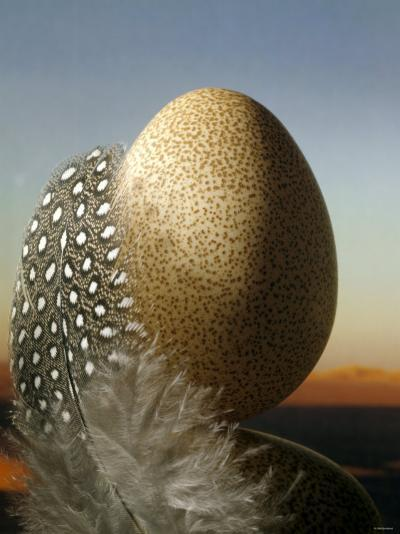 A Guinea Fowl Egg and Feather-Manfred Seelow-Photographic Print