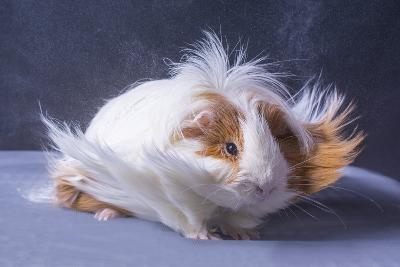 A Guinea Pig's Hair is Blowing in the Wind.- EBPhoto-Photographic Print