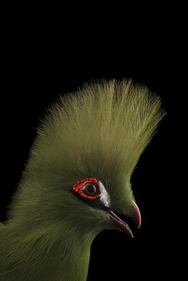 A Guinea Turaco, Tauraco Persa, at the Santa Fe College Teaching Zoo-Joel Sartore-Photographic Print