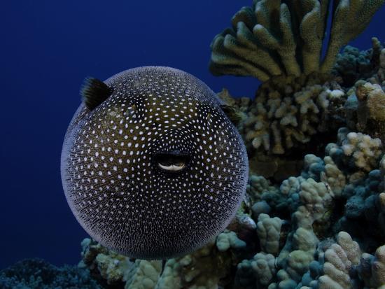 A Guineafowl Pufferfish (Arothron Meleagris), Hawaii, USA-David Fleetham-Photographic Print
