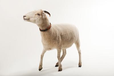 A Gulf Coast Native Sheep, Ovis Aries, at the Audubon Zoo-Joel Sartore-Photographic Print