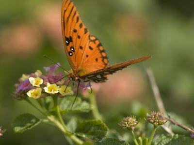 A Gulf Fritillary Butterfly Sipping Nectar from a Flower-Brian Gordon Green-Photographic Print