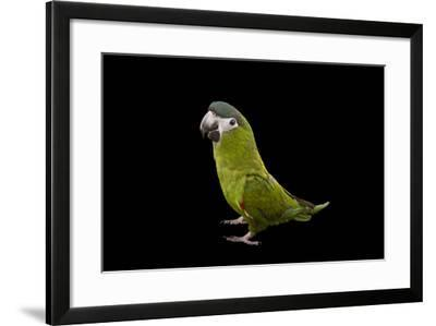 A Hahn's Red-Shouldered Macaw, Diopsittaca Nobilis.-Joel Sartore-Framed Photographic Print