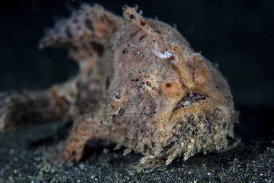 A Hairy Frogfish in Lembeh Strait, Indonesia-Stocktrek Images-Photographic Print