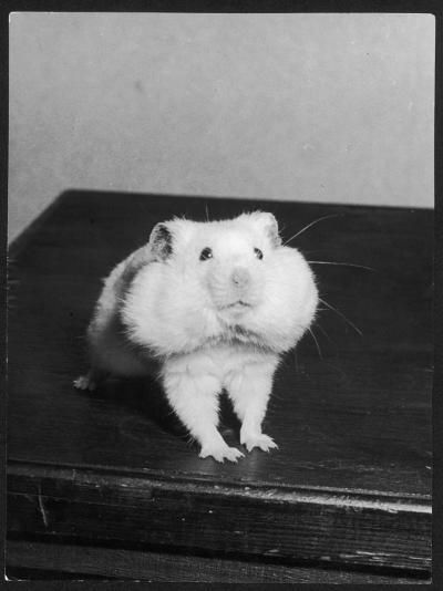A Hamster with its Pouches Stuffed with Food--Photographic Print