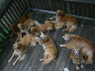 A Happy Group of Golden Retrievers Relax Together--Photographic Print