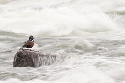A Harlequin Duck on a Rock in the LeHardy Rapids-Tom Murphy-Photographic Print